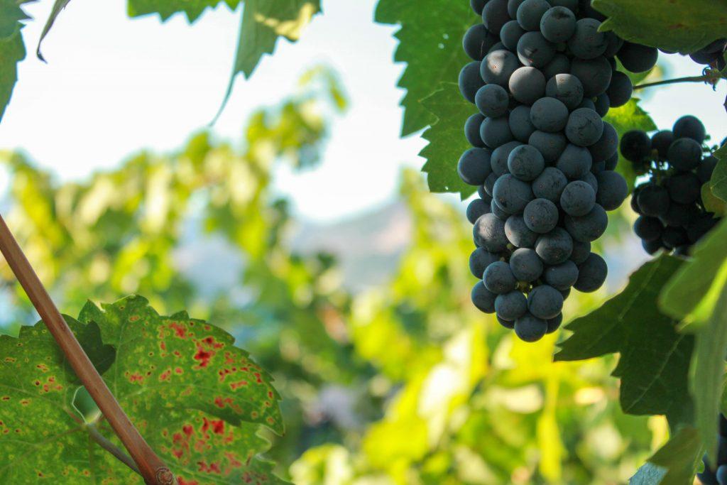 ワイン生産においても除草剤として使用されるグリホサート