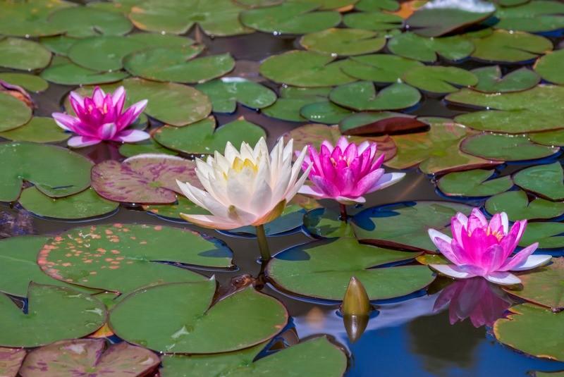 グリホサートと水生植物